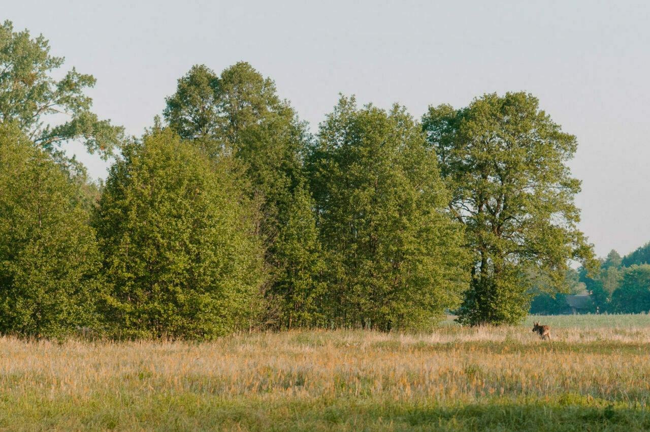 krajobraz poleskiego parku z łosiem