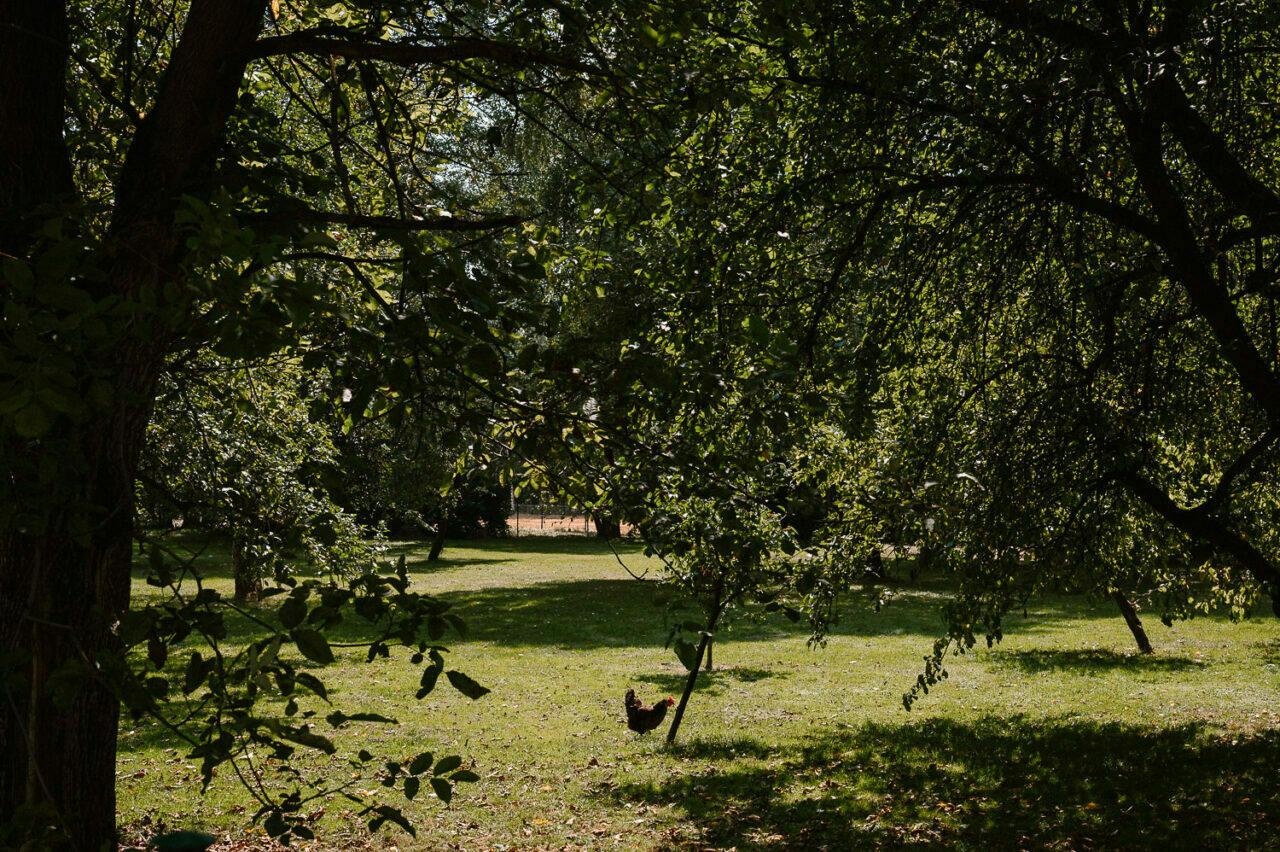 biegająca kura wśród drzew