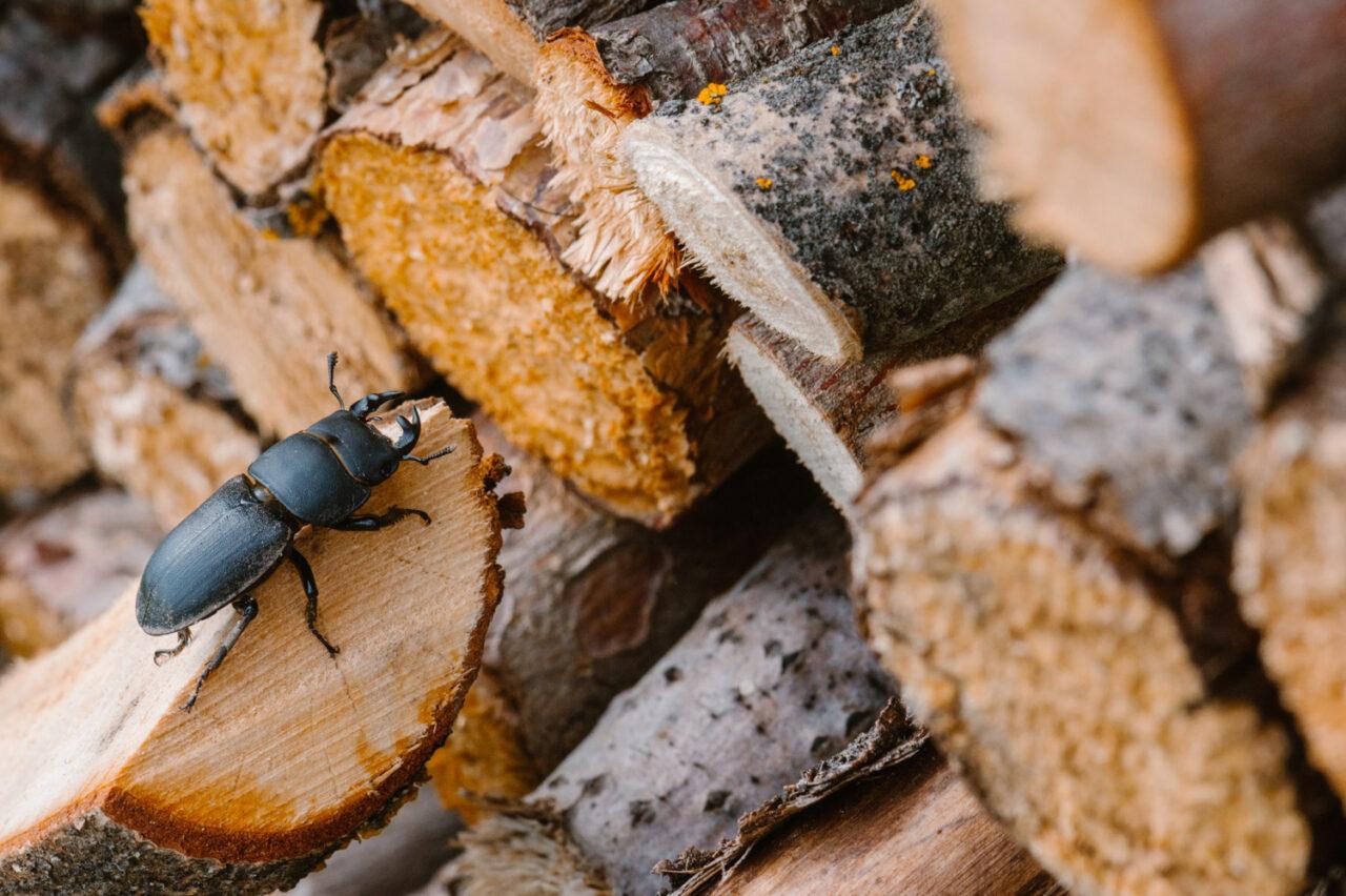 chrząszcz ciołek wśród drewna