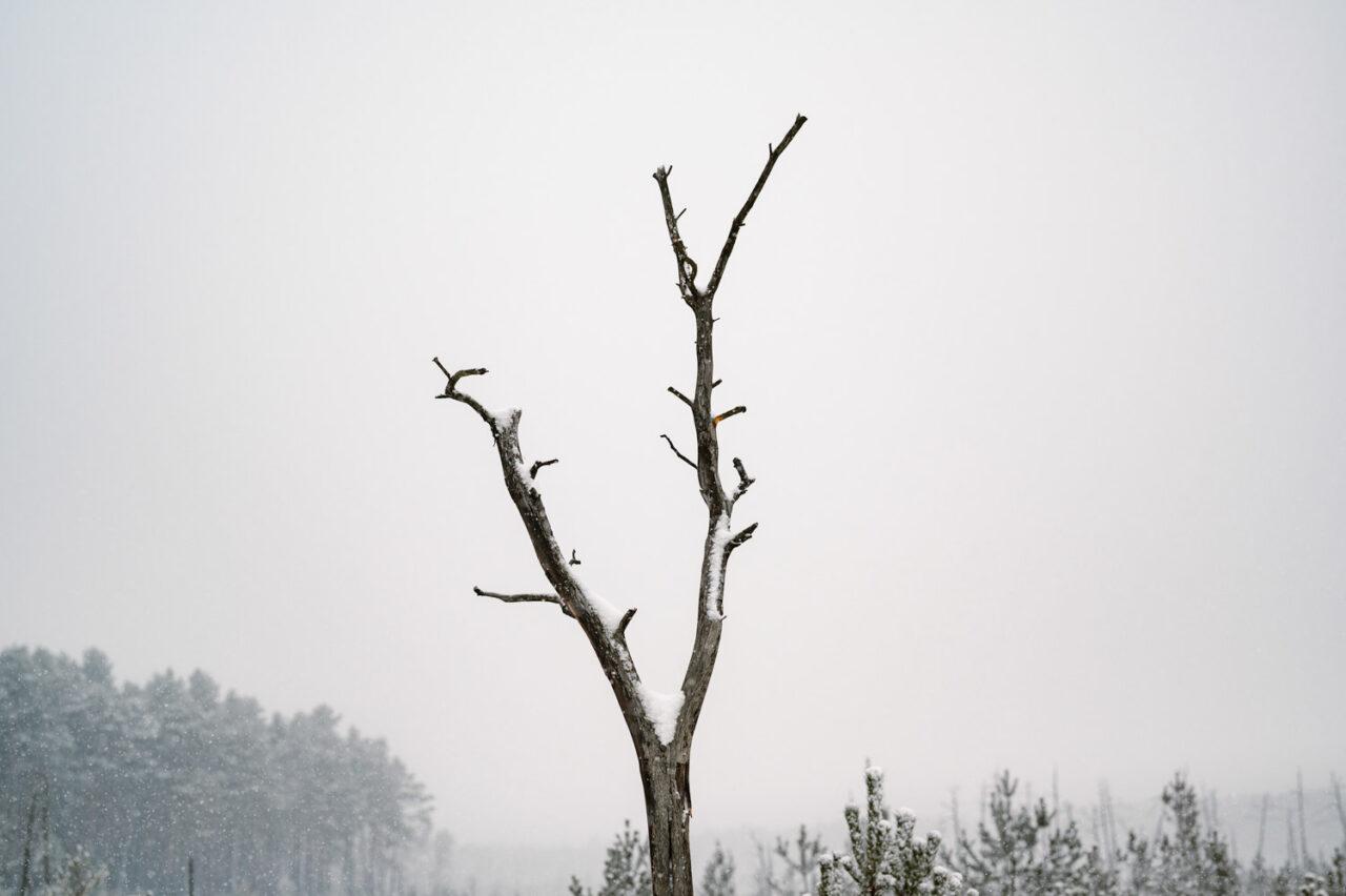 suchy pień drzewa pokryty śniegiem