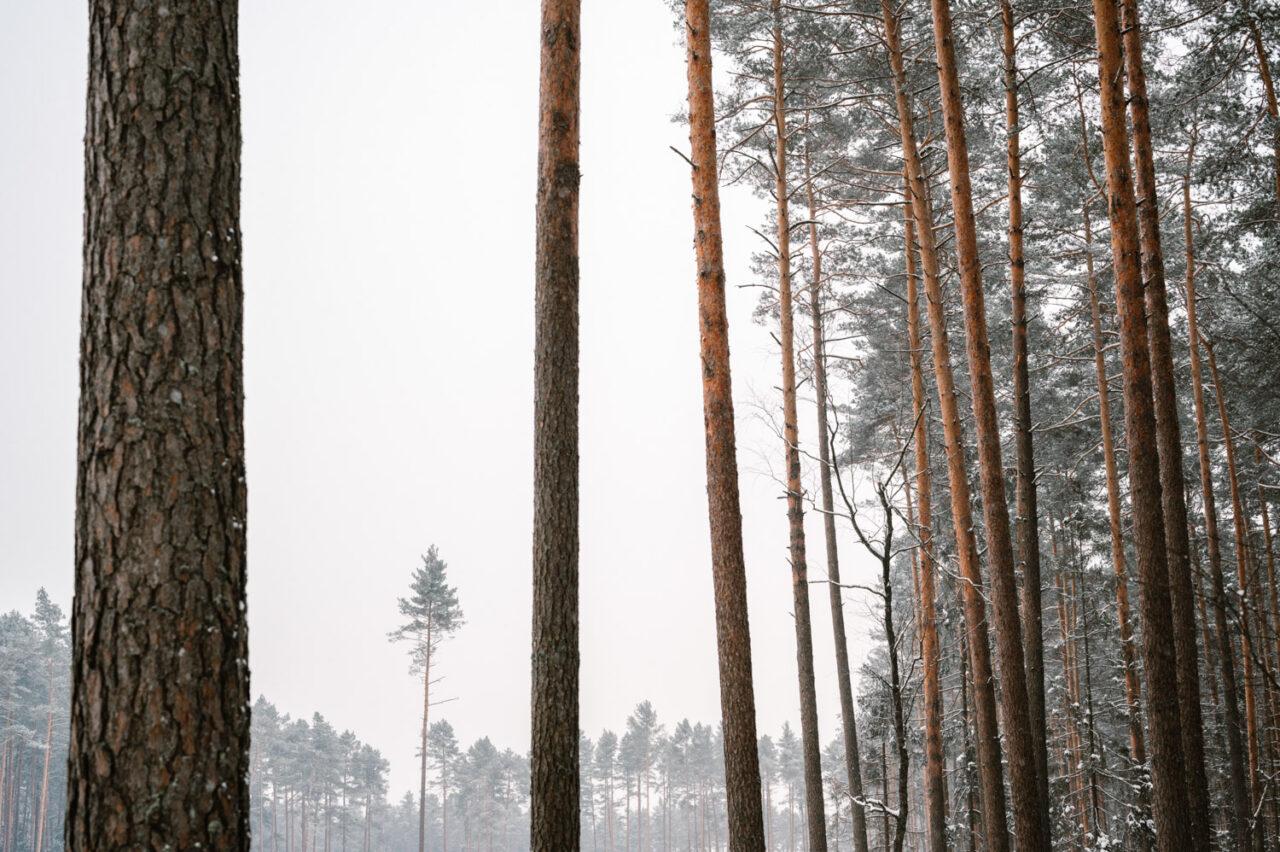 pnie sosnowego lasu zimą