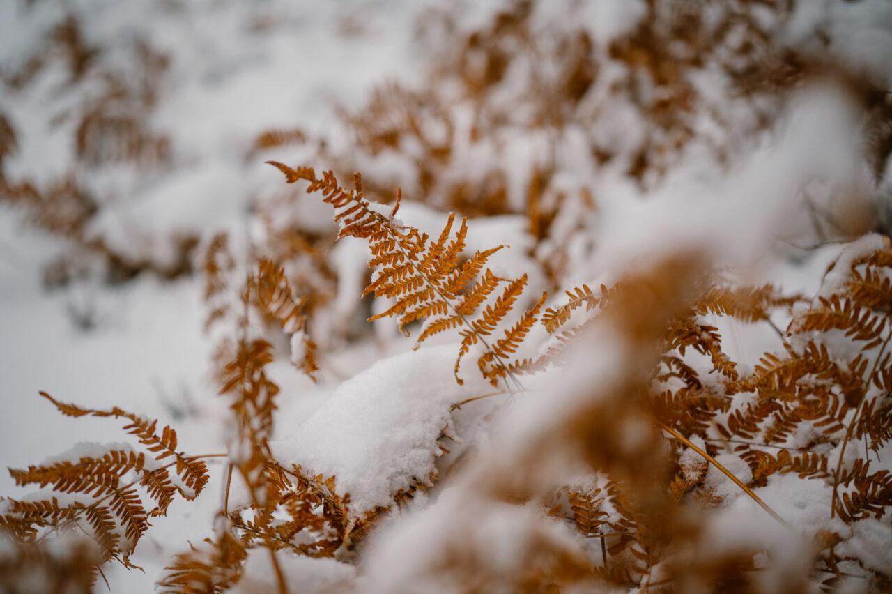paprocie przyprószone śniegiem